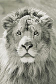 Details of Lion head in nature — Stock Photo