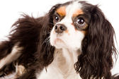 Cavalier King Charles Spaniel - Dog — Stock Photo