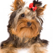 Yorkshire Terrier - Dog - Foto de Stock