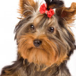 Yorkshire Terrier - Dog - Stock Photo