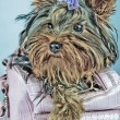 Yorkshire terrier inside the bag - Stock Photo