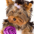 Yorkshire Terrier with rose - Dog - Stock Photo