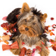 Yorkshire Terrier - Dog — Stock Photo