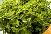 Oregano Plant — Stock Photo