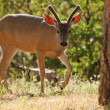 Backlit Mule Deer — Stock Photo