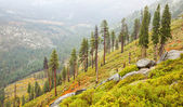 Sparse Yosemite Forest — Stock Photo