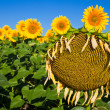 Old Sunflower — Stock Photo