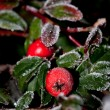 Winter holly berrie - Stock Photo