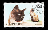 暹罗猫 — 图库照片