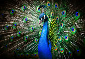 Vacker påfågel — Stockfoto