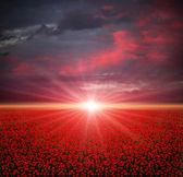 Mák pole při západu slunce — Stock fotografie