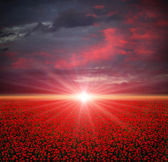 Poppies field at sunset — ストック写真