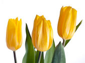 Yellow Tulips Bouquet — Stock Photo