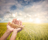 Hand holding harvested paddy — Stock Photo