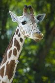 Portrait of a giraffe — Stock Photo