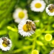 Macro bee on camomile - Stock Photo