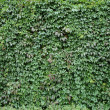 Photo: Ivy green autumn background photo