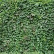 Ivy green autumn background photo — Stockfoto #4737682