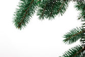 Pine Sprig for Christmas — Stock Photo