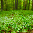 Beech seedlings with forest in background - Stok fotoğraf