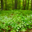 Beech seedlings with forest in background - Foto Stock
