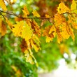 Autumn oak leaves — Foto Stock