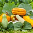 Pumpkins outdoor — Stock Photo