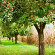 Apple trees orchard — Stock Photo
