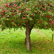 Apple trees orchard — Stock Photo #4049259
