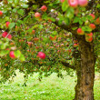 Foto Stock: Apple trees orchard