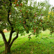 Apple trees orchard — Stok fotoğraf