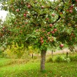 Apple trees orchard — Stock Photo #4049267