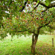 Apple trees orchard — Stock Photo #4049269