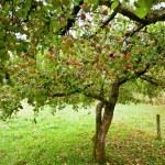 Apple trees orchard — Stock Photo