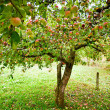 Apple trees orchard — Foto Stock