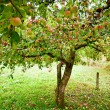 Apple trees orchard — Stock Photo #4049273