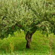 Apple trees orchard — Stock Photo #4049277