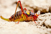 Yellow and red cricket — Stock Photo