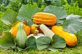 Pumpkins outdoor — Stock Photo