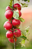 Group of red apples on a branch — Stock Photo