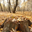 Beech stump in the forest — Stock Photo