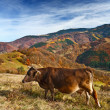 Cow in alpine landscape — Stock Photo