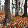 Beech forest - Foto de Stock  