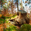 Big stump — Stock Photo