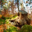 Stock Photo: Big stump