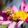 Bee on flower - Stock Photo