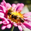 Bee on flower — Stock Photo #4208241