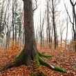 Beech tree — Stock Photo #4253985