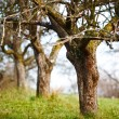 Empty apple trees in late november — Stock Photo