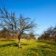 Orchard with empty trees — Foto Stock